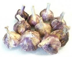 violetgarlic